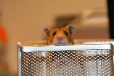 Hamster (c) Christoph L. / pixelio.de