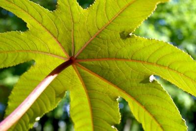 Natur | Rizinus (c) gnubier / pixelio.de