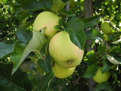 Natur | Apfelbaum (c) Heike  / pixelio.de