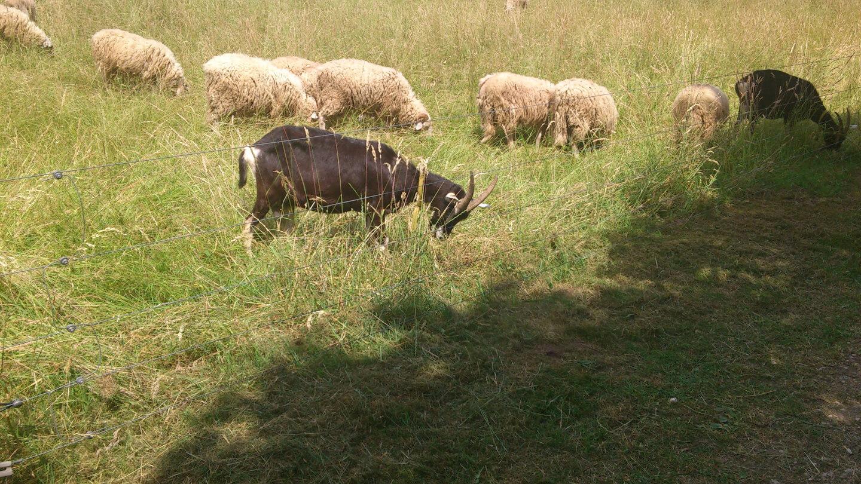 Schaffe und Ziegen (c) familienfreund.de
